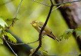 Wood Warbler (Phylloscopus sibilatrix), Pouillot siffleur