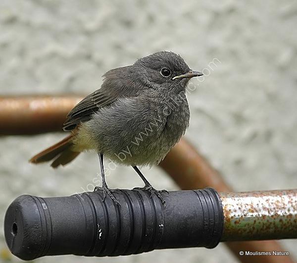 Black Redstart (Phoenicurus ochruros) Juv