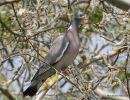 Common Wood Pigeon (Columba palumbus), Pigeon ramier