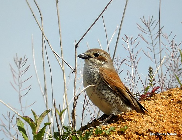 Red-backed Shrike (Lanius collurio) F