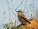 Red-backed Shrike (Lanius collurio) F