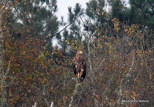 White-tailed Eagle (Haliaeetus albicilla) Imm