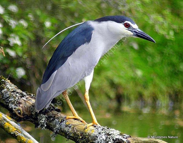 Black-crowned Night Heron (Nycticorax nycticorax) Ad, Bihoreau gris