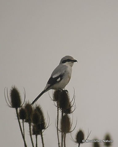Great Grey Shrike (Lanius excubitor), Pie-grieche grise