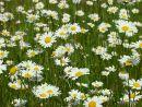 Leaucanthemum vulgare, Ox-eye Daisy
