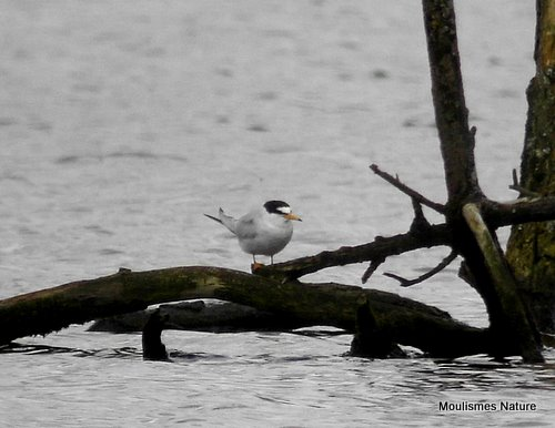 Little Tern (Sternula albifrons) Ad-S, Sterne naine