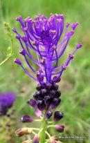 Muscari comosum, Tassel Hyacinth