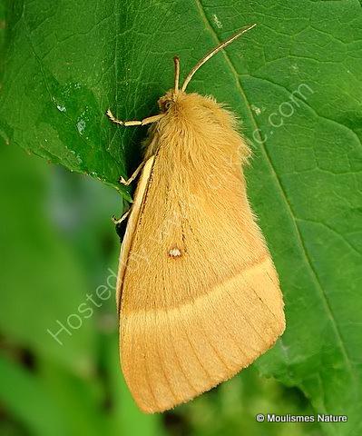 Oak Eggar (Lasiocampa quercus)