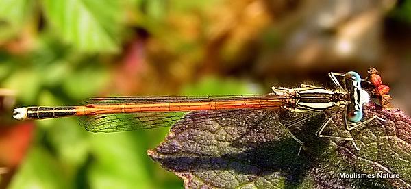 Orange White-legged Damselfly (Platycnemis acutipennis) M