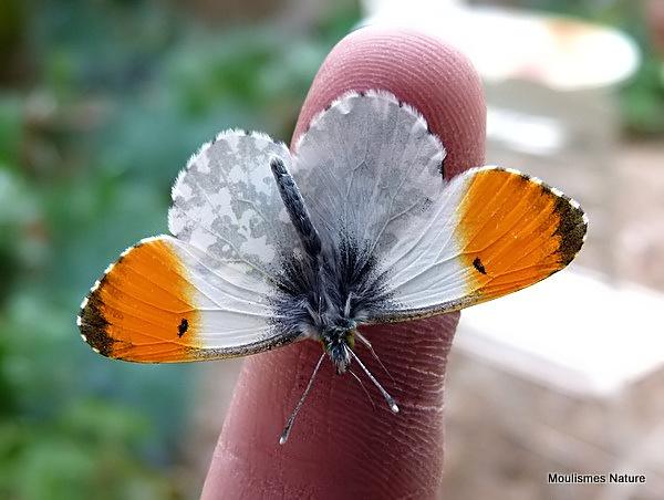 Orange Tip (Anthocharis cardamines) M