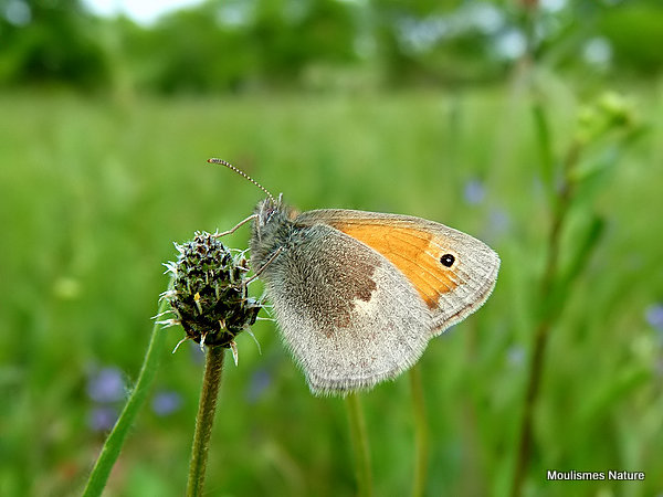 Small Heath (Coenonympha pamphilus), Le Fadet commun