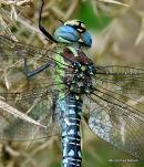 Hairy Dragonfly (Brachytron pratense) M