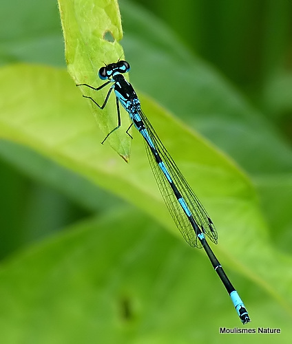 Variable Damselfly (Coenagrion pulchellum) M
