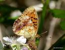 Marbled Fritillary (Brenthis daphne), Le Nacre de la ronce