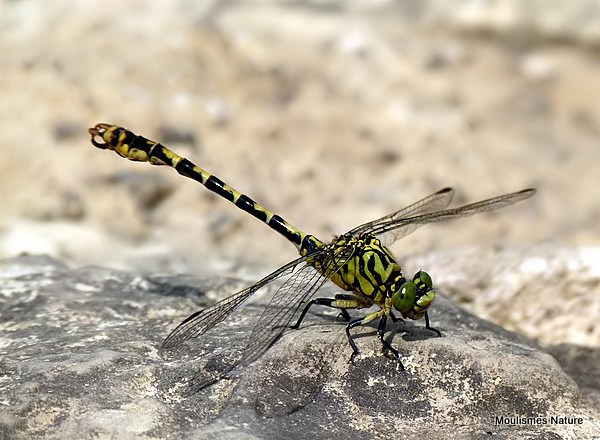 Green-eyed Hooktail (Onychogomphus forcipatus) M, Gomphus a pinces