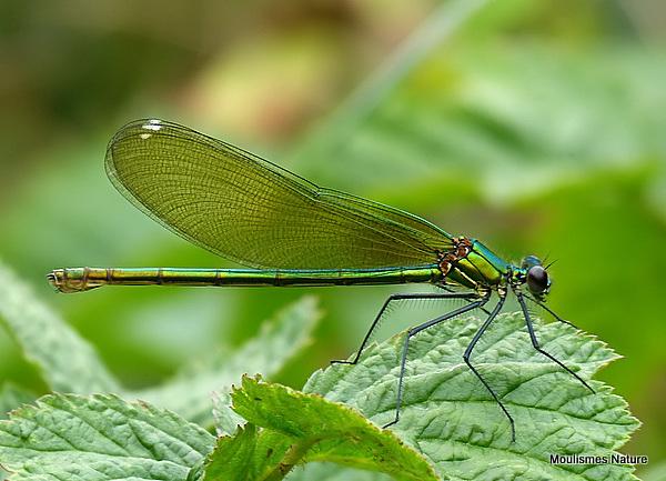 Banded Demoiselle (Calopteryx splendens) F