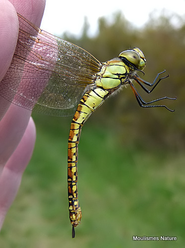 Southern Migrant Hawker (Aeshna affinis) F