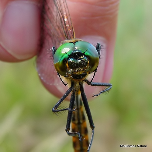Yellow-spotted Emerald (Somatochlora flavomaculata) M
