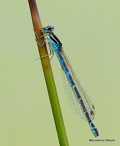 Dainty Damselfly (Coenagrion scitulum) F