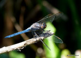 Keeled Skimmer (Orthetrum coerulescens) M