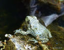 (?)Common Midwife Toad (Alytes obstetricans)