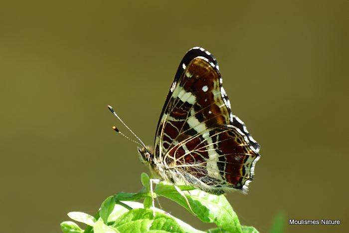 Map Butterfly (Araschnia levana), La Carte geographique