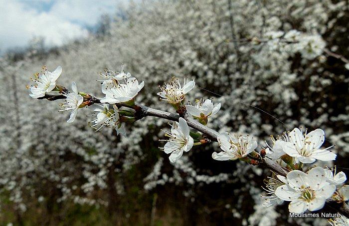 Prunus spinosa, Blackthorn