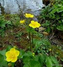 Caltha palustris, Marsh-marigold