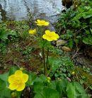 Caltha palustris, Marsh-marigold