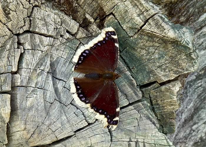 Camberwell Beauty (Nymphalis antiopa), Le Morio