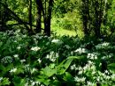 Allium ursinum, Ramsons