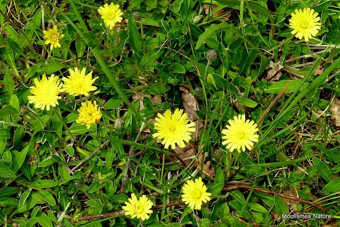 Hieracium pilosella, Mouse-ear Hawkweed
