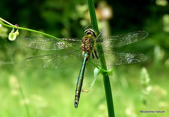 Brilliant Emerald (Somatochlora metallica) M