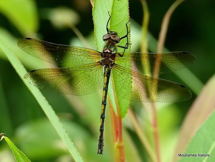 Orange-spotted Emerald (Oxygastra curtisii) F
