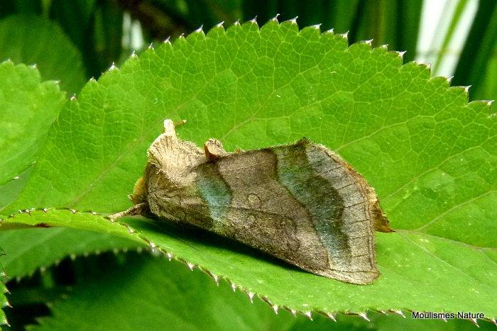 Burnished Brass (Diachrysia chrysitis)