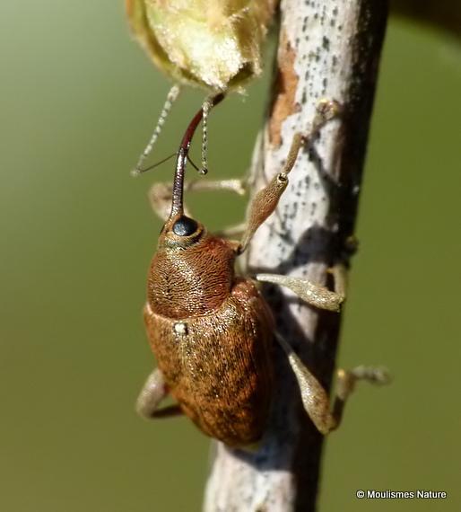 Acorn Weevil (Curculio venosus)