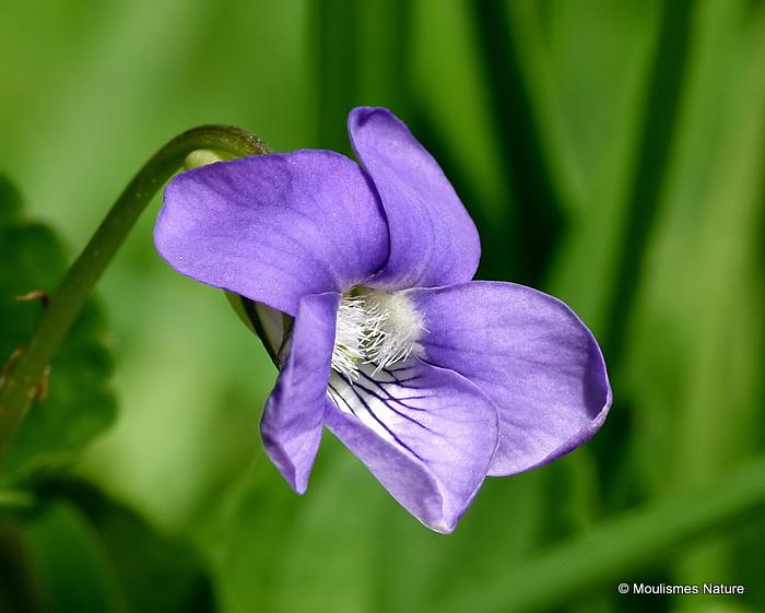 Viola riviniana, Common Dog-violet