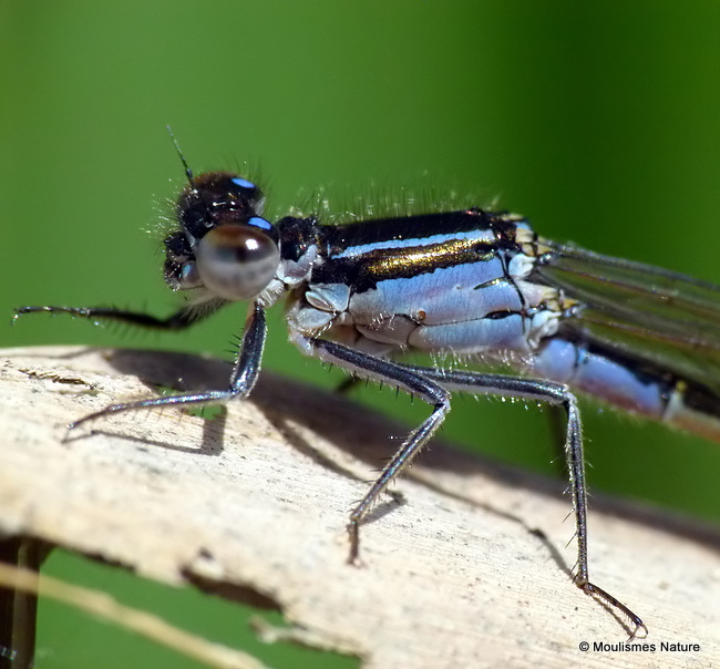 Blue-tailed Damselfly (Ischnura elegans) F-Imm/ten
