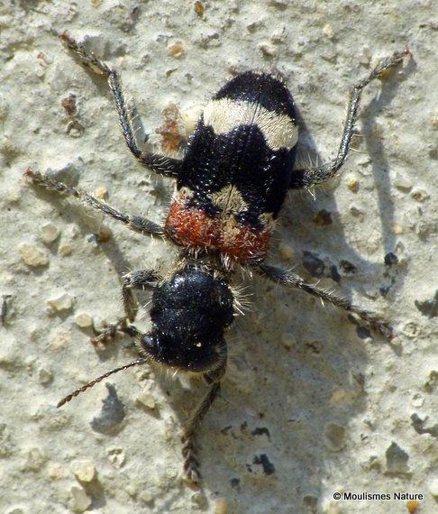 Soldier Beetle sp. Clerus mutillarius