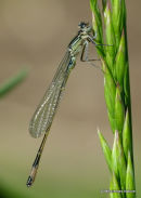 Blue-tailed Damselfly (Ischnura elegans) M-ten