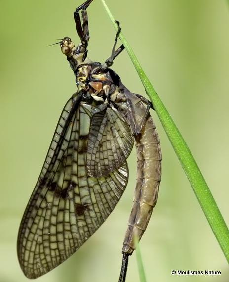 Mayfly (Ephemera) sp.