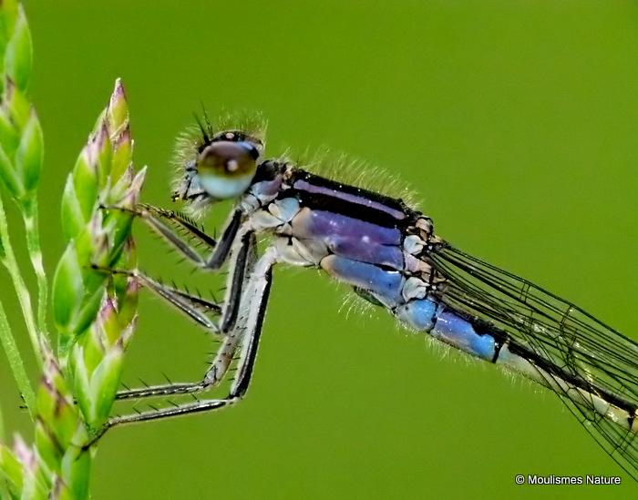 Blue-tailed Damselfly (Ischnura elegans) F-Imm