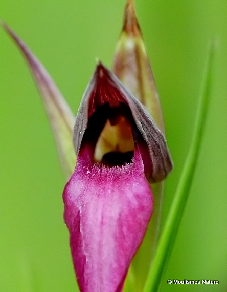 Tongue Orchid (Serapias lingua)