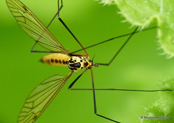 Spotted Crane Fly (Nephrotoma appendiculata)