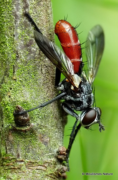 Tachinid fly sp. Cylindromyia bicolor