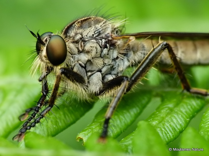 Robber fly (Asilidae), Machimus sp.