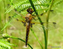 Four-spotted Chaser (Libellula quadrimaculata) F-ten