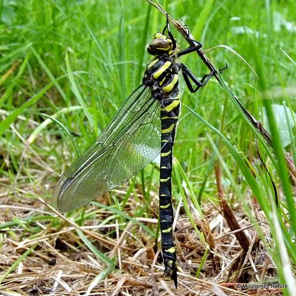 Golden-ringed Dragonfly (Cordulegaster boltonii) F-Imm