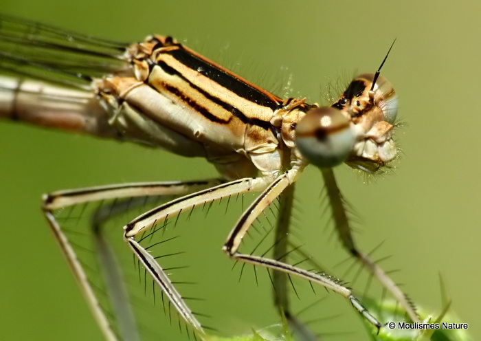 White-legged Damselfly (Platycnemis pennipes) F