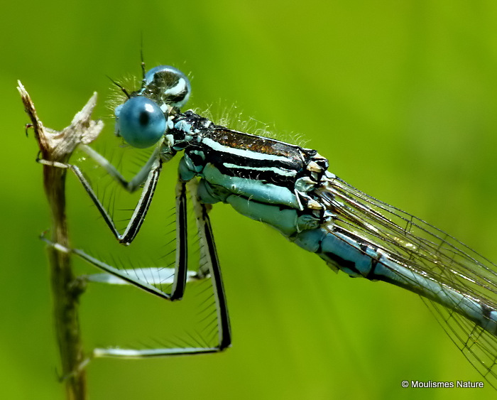 White-legged Damselfly (Platycnemis pennipes) M